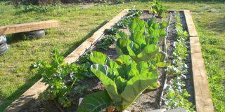 Huerta familiar de otoño: repollos, lombardas y coles