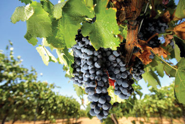 Soto del Grillo: curso cultivo ecológico de vid