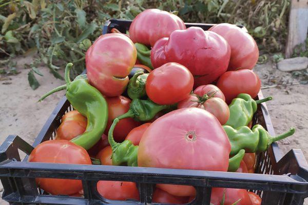Tomates autóctonos de hace 50 años